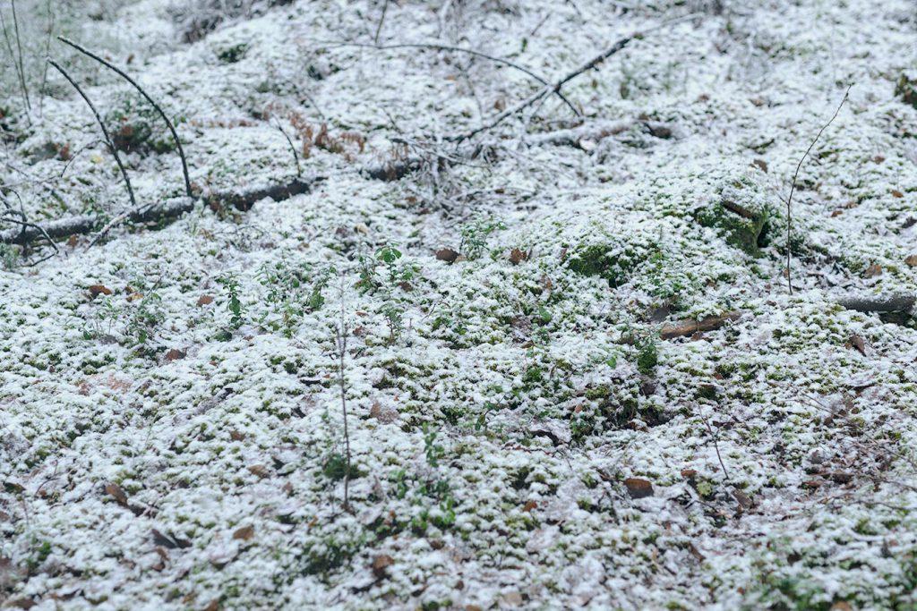 Lumi peittää metsän. Yleensä loppusyksyn ensilumi ja pakkaset palelluttavat sienet.