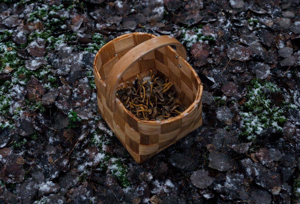 Tämän päivän suppilovahverosaalis sienikorissa. Yleensä suppilovahverokausi alkaa loppusyksystä, ja sieniä löytyy siihen asti, kunnes tulevat ensimmäiset yöpakkaset ja ensilumi.